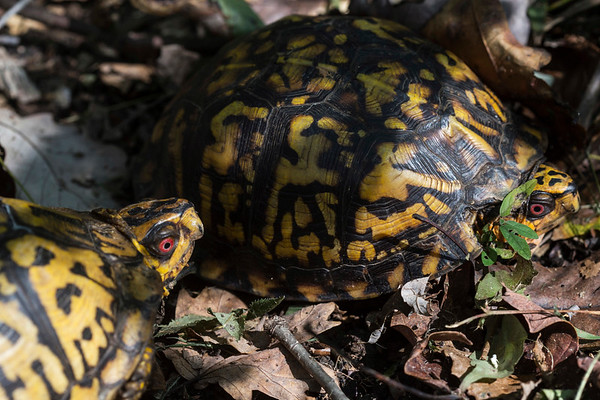 A pair of eastern box turtles sits in the pathway at the Pine Creek Barrens Preserve in Bullitt County. 9/21/17