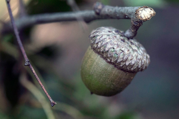 An acorn on a snapped twig is entangled in brush along the path in the Pine Creek Barrens Preserve. 9/21/17