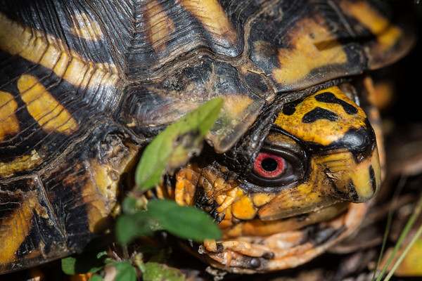 An eastern box turtle rests along a path in the Pine Creek Barrens Preserve in Bullitt County. 9/21/17
