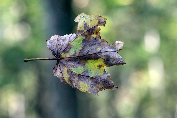 A fallen leaf is suspended in air by one of many spider webs along a fresh path in Pine Creek Barrens Preserve. 9/21/17