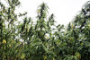 Hemp grown for industrial reasons can reach heights anywhere between 15-22 feet. 10/9/17