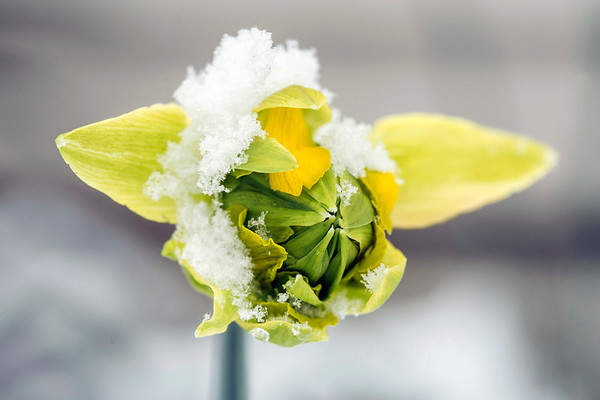 Snow blanketed the Louisville area on Tuesday leaving several blooms out in the cold on the first day of Spring 2018. 3/21/18