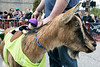 Gin and Tonic, complete with a stuffed jockey, was the victorious goat of the 3rd race during Bock Fest on Saturday in NuLu. 3/31/18