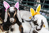 A few of the competitive goats at the Bock Fest were dressed in their Easter best. 3/31/18