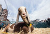The intersection of Clay and Market Streets resembled an exhibit at the State Fair on Saturday as goats were penned and raced as part of the tradition of Bock Fest. 3/31/18