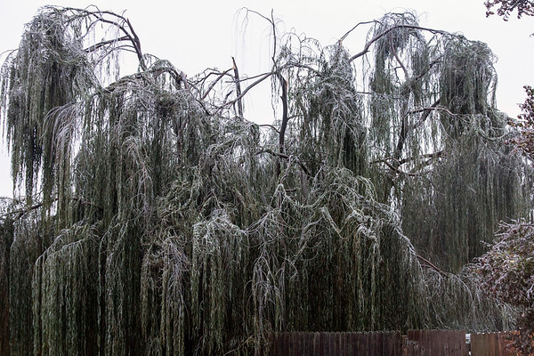 A weeping willow tree on Burnett Avenue was split from the top down as branches struggled to carry the weight from an overnight ice storm. 11/15/18