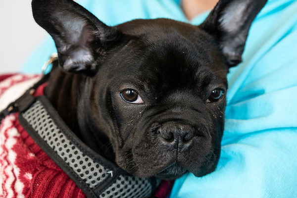A French bulldog named Winston is one of the many cute faces hanging around the PetFirst headquarters in Clarksville, Indiana. 1/10/19