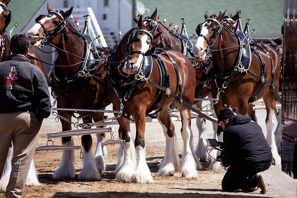 One of the Budweiser Clydesdales flashed a smile for a cameraman at Churchill Downs on Monday afternoon as the world renowned horse team was in town to film a commercial. 4/1/19