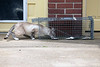 A stray cat takes the bait that Alley Cat Advocates trapper Amanda Tevis set in a backyard where a dozen cats live. 5/29/19