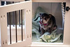 Chiuhuahua Diva sits in a smaller doghouse produced at Kentucky Barnwood Kennels. 9/20/19