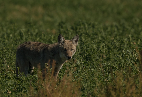 Coyote Hunting 3