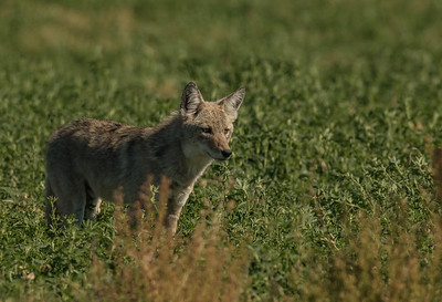 Coyote Hunting 2