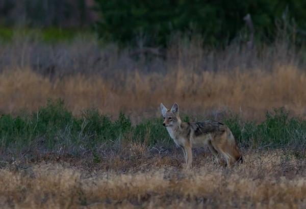 Sunrise Coyote