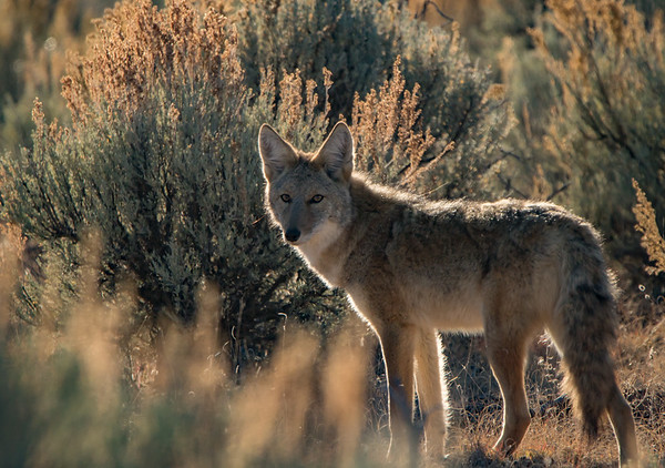Back-lit Coyote