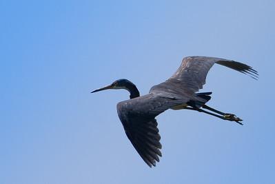 RonaldJAbbate_evergladesbirds-14