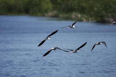 RonaldJAbbate_evergladesbirds-12