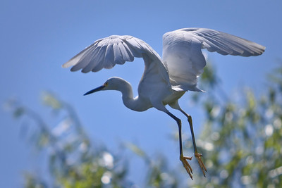 RonaldJAbbate_evergladesbirds-10