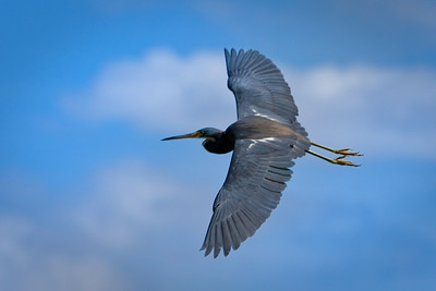 RonaldJAbbate_evergladesbirds-9