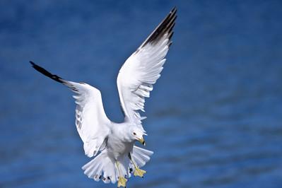 RonaldJAbbate_evergladesbirds-2