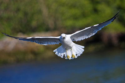 RonaldJAbbate_evergladesbirds