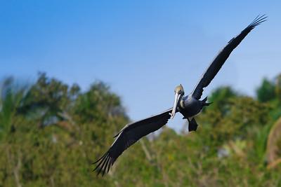RonaldJAbbate_evergladesbirds-6