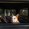 This rat terrier is ready to go cruising.