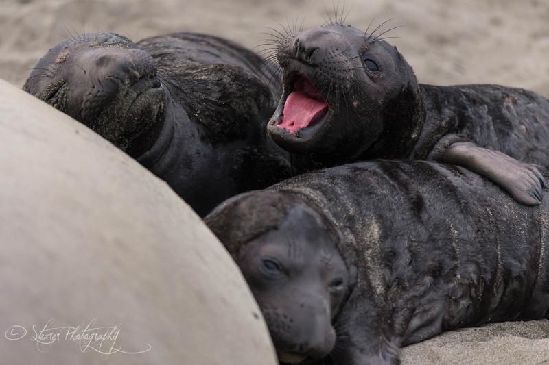 Hungry - Elephant Seals of Piedras Blancas, CA