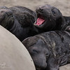 Hungry - Elephant Seals of Piedras Blancas, CA