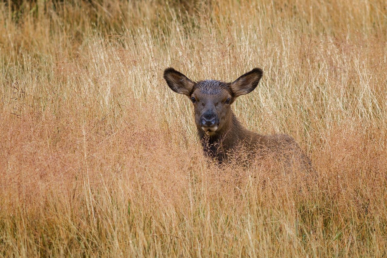 Elk Calf - Yellowstone 2015