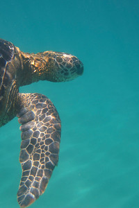 Napili Point on Maui.  I was able to swim with the sea turtles every day.  What a great location!  Maui, Hawaii, 2010