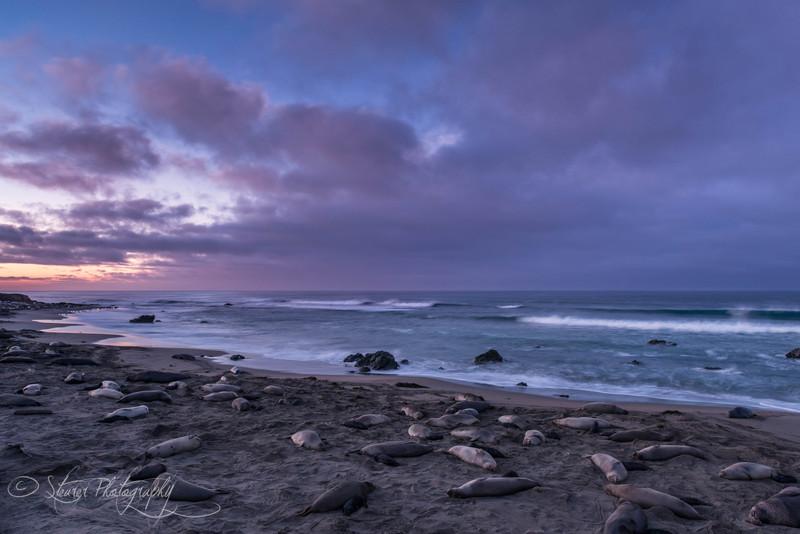 Early Morning - Elephant Seals of Piedras Blancas, CA