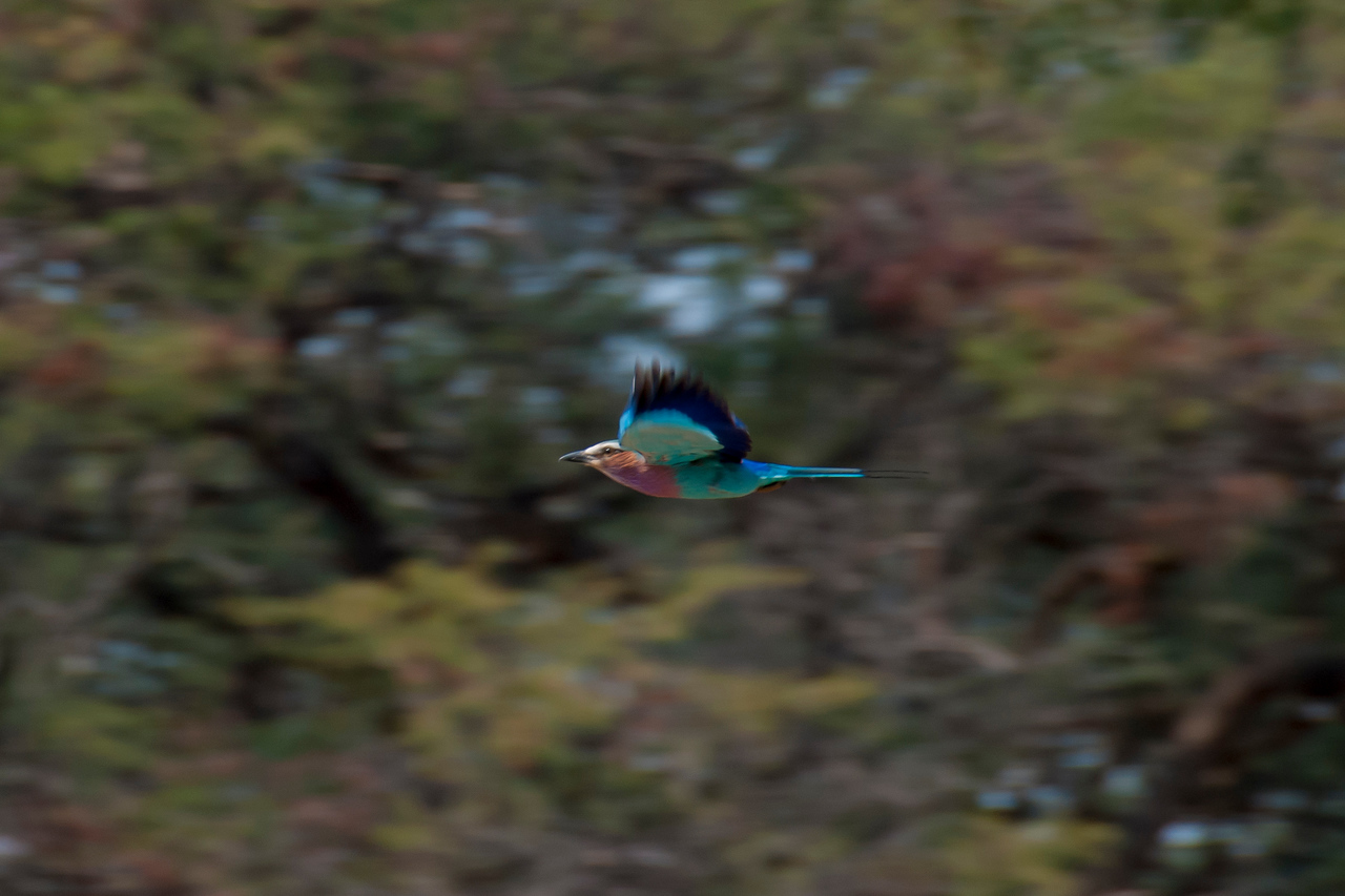 This is easily my favorite bird.  The lilac breasted roller in Zambia near Livingstone 2013.