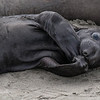 Cutie Pie - Elephant Seals of Piedras Blancas, CA