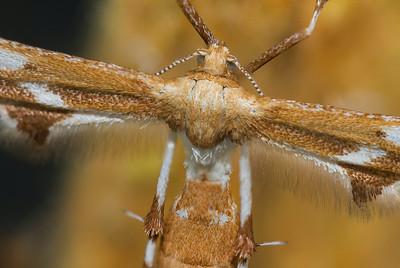 Artichoke Plume Moth; Dearborn, MI 2014