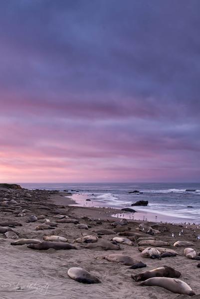 Dawn at the beach - Elephant Seals of Piedras Blancas, CA