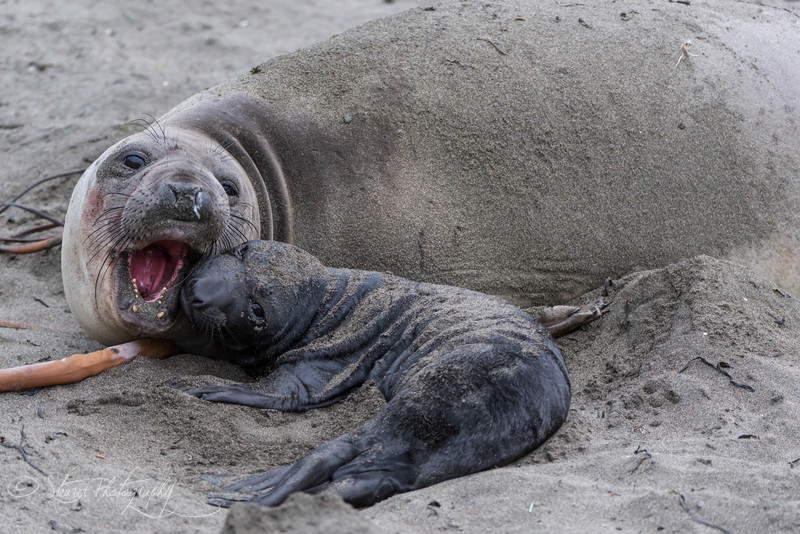 Motherhood - Elephant Seals of Piedras Blancas, CA