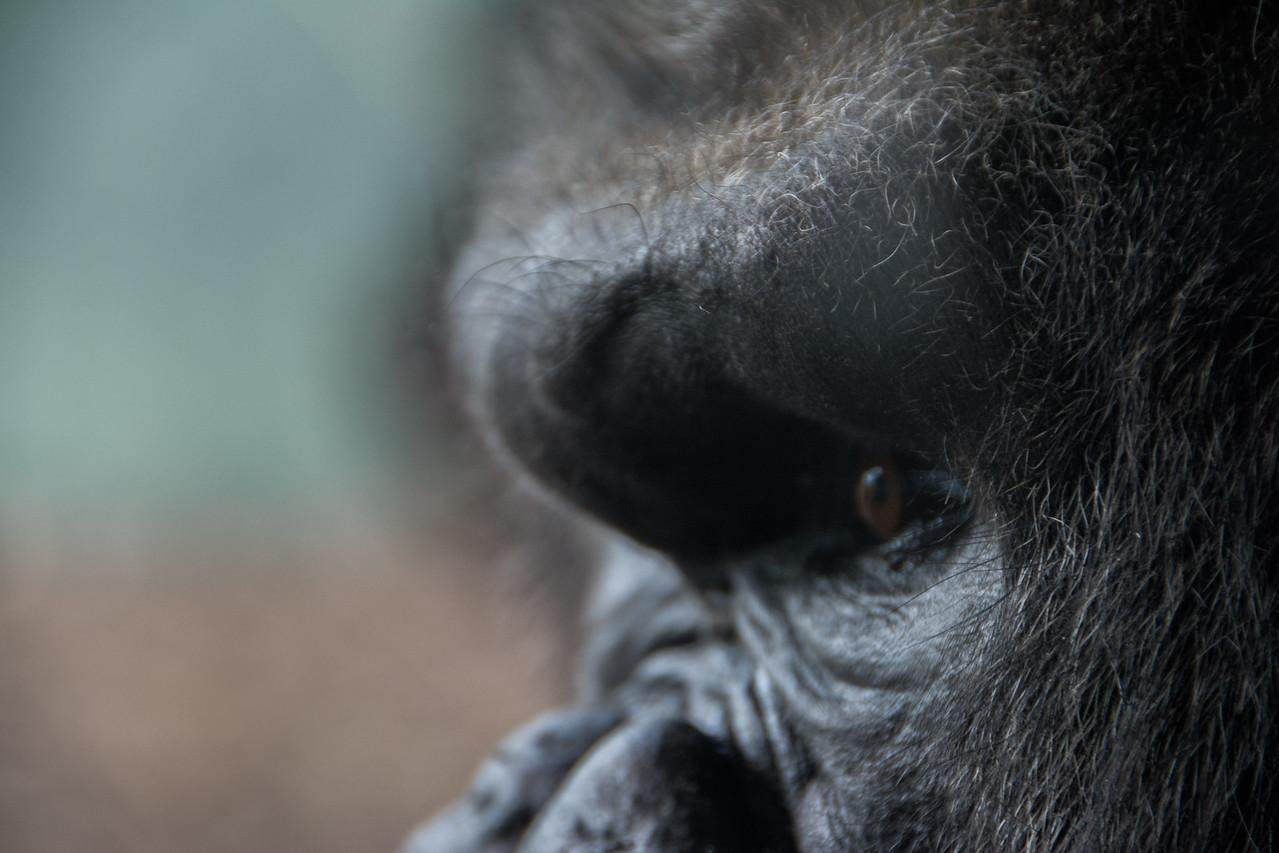 Gorilla Time - Toledo Zoo 2016