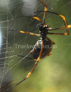 Golden Orb Weaver spider, insect, in Sydney, Australia 25/05/08 (c) Tess Peni