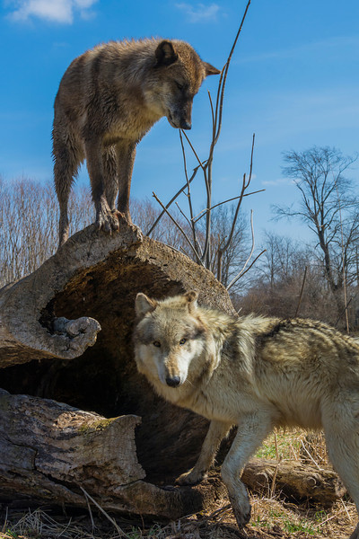 Two of the wolves at Wolf Park. Battle Ground, Indiana 2014