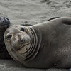 Curious - Elephant Seals of Piedras Blancas, CA