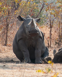Rhino near Livingstone.  Amazing how something so large can look cute. Livingstone, Zambia 2013