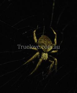 Garden Orb spider, insect, Sydney, Australia 27/01/08 (c) Tess Peni