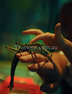 Parent and child hands touch a giant Stick Insect, Wildlife World, Sydney, Australia 30/03/08 (c) Tess Peni