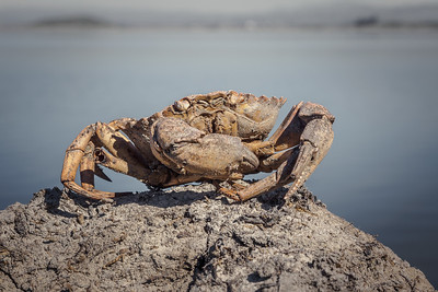 Crab Gone By