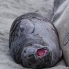 Yaaawning- Elephant Seals of Piedras Blancas, CA