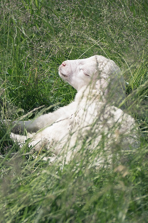 Lamb in the Grass