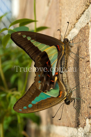 Graphium sarpedon, the common bluebottle butterfly or blue triangle butterfly (Australia) is a species of swallowtail butterfly