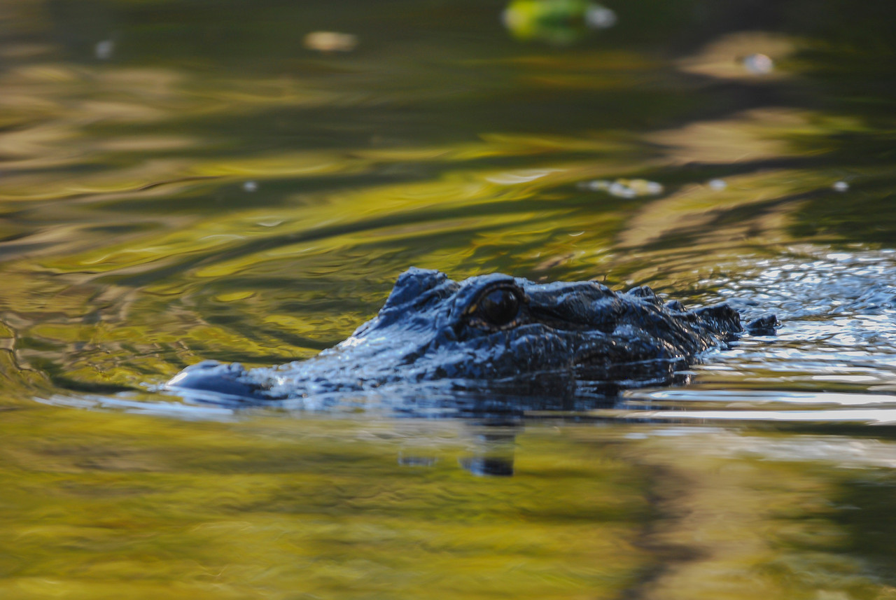 Alligator spotted on an Air Boat tour South of New Orleans 2009