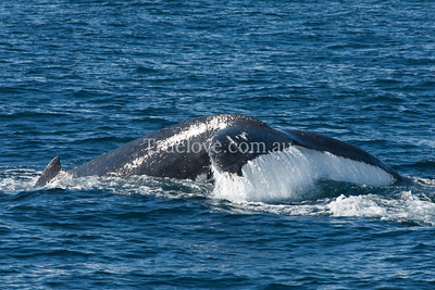 Humpback whales migrate north off Australia's east coast, Jervis Bay, NSW June 28, 2009. (c) Tess Peni