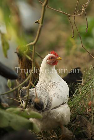 chicken DSC_0019